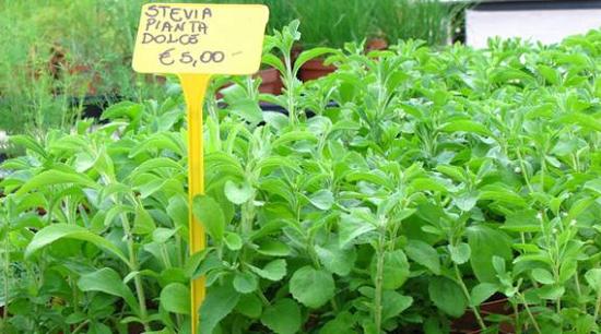 D nde comprar stevia for Donde venden plantas