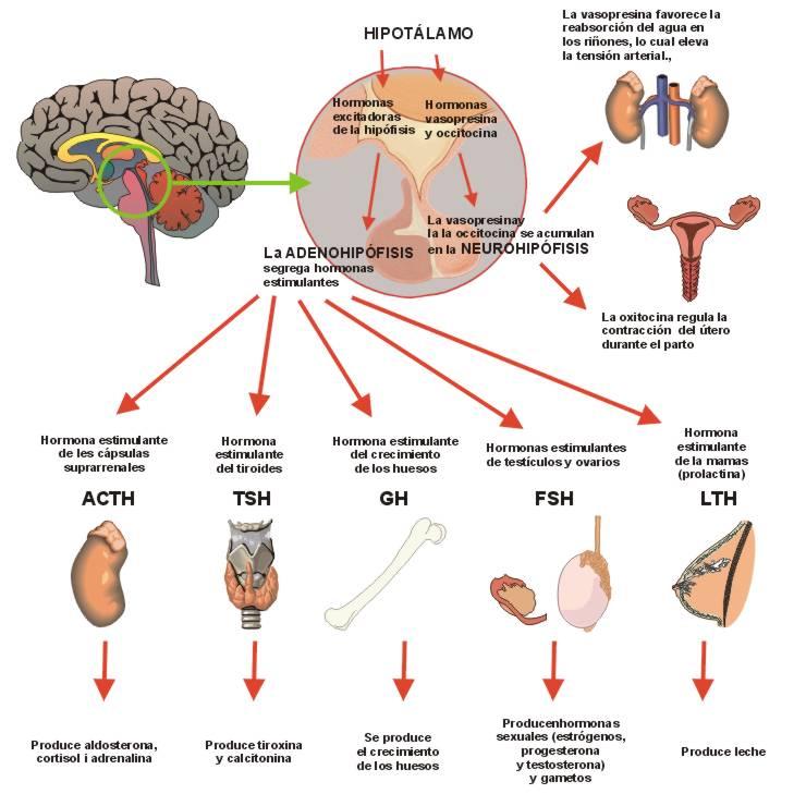Hormona de crecimiento humano para adelgazar