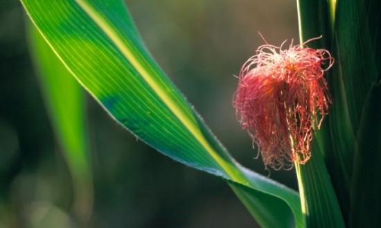 5 plantas diuréticas para adelgazar