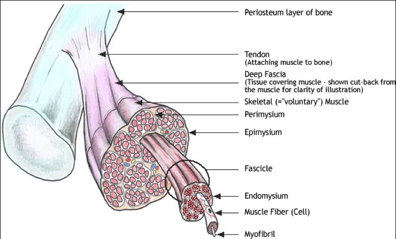 Fascia muscular: ¿Qué es y cómo funciona?