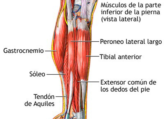 Image result for musculos tibiales