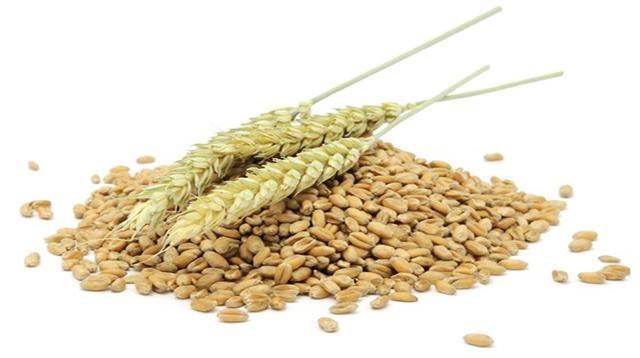 ¿El germen de trigo engorda?