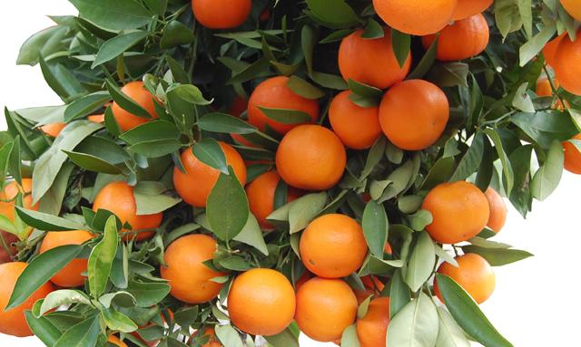 Beneficios y propiedades mandarina - Mandarina home espana ...