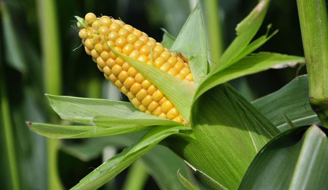 ¿El maíz engorda?