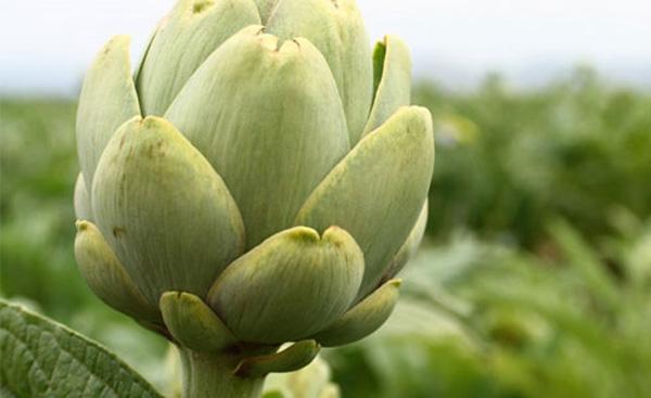 Dieta alcachofa para adelgazar