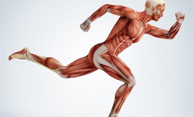 Músculos antagonistas